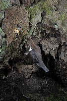 Dipper feeding youngs in nest, North Rhine_Westphalia, Germany / Cinclus cinclus