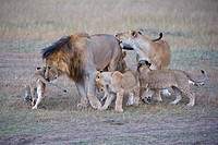 Lions Panthera leo, greeting the leader of the pride, social behaviour, Masai Mara Nature Reserve, Kenya, East Africa