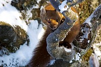 European pine marten Martes martes, on tree, Germany