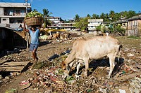 Holy cow in a residential area of Port Blair, Andaman Islands, India, South Asia