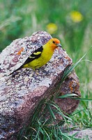 Western Tanager Piranga ludoviciana, adult male with prey, Rocky Mountain National Park, Colorado, USA