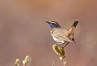 bluethroat Luscinia svecica, Cyanosylvia svecia, male, Norway