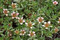 Nathorst`s Saxifrage Saxifraga nathorstii, blooming plant