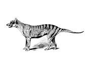 Woodcut, Thylacine, Tasmanian Tiger, Tasmanian Wolf, Tassie, Tazzy Tiger (Thylacinus cynocephalus), extinct since 1936