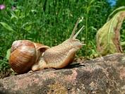 Roman snail, escargot, escargot snail, edible snail, grapevine snail, vineyard snail, vine snail Helix pomatia, on sand stone, Germany, Hesse