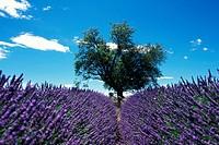 lavender Lavandula angustifolia, flowering lavender field, France, Provence