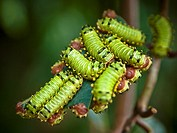 Caterpillars, Senegal