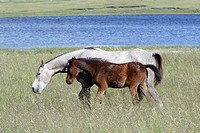 Arabic horses, mare with foal on meadow, Alentejo, Portugal