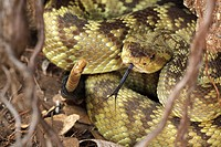 Black-tailed Rattlesnake (Crotalus molossus), Chiricahua Mountains, Arizona, USA - Coiled showing rattle - ´Smelling´ or ´tasting´ the air with its to...