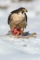 peregrine falcon Falco peregrinus, gorging dove, Germany, Baden_Wuerttemberg
