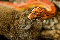 Corn Snake (Elaphe guttata guttata) eating mouse, captive, USA