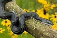 Black Ratsnake (Elaphe obsoleta) on log, New York, USA -Grows to over 8 feet - Largest snake in North America - Good climber - Eats rodents