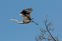 Grey Heron, Ardea cinerea, flight