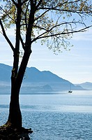 Tree clinging to land at the waters edge of Lake Maggiore near Luino with a yacht motoring away from the shore
