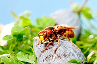 hornet, brown hornet, European hornet Vespa crabro, on a plum, Germany