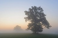 Pedunculate Oak Quercus robur in the fog