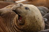 southern elephant seal Mirounga leonina, yelling female, Antarctica, Suedgeorgien