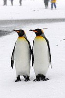 king penguin Aptenodytes patagonicus, two individuals side by side in the snow, Antarctica, Suedgeorgien