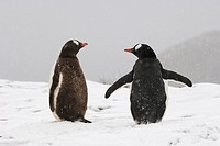 gentoo penguin Pygoscelis papua, Two animals in the snow from behind, Antarctica, Suedgeorgien