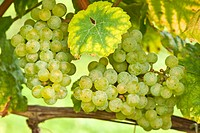 Grapes, Rheingau, Germany, close_up