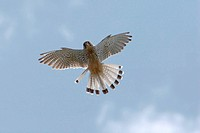 common kestrel Falco tinnunculus, flying, Germany