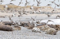 Seals and birds at beach, Helgoland, Schleswig_Holstein, Germany