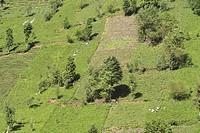 tea plant Camellia sinensis, Thea sinensis, Camellia sinensis var. assamica, Thea assamica, tea harvesting in eco_farming plantation, Turkey, Schwarzm...