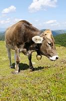 Cow grazing, Styria, Austria
