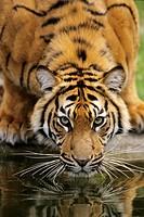 Sumatra Tiger Panthera tigris sumatrae, drinking, portrait