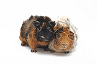 Abyssinian Guinea pig Cavia aperea f. porcellus, two individuals side by side