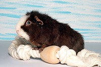 US Teddy Guinea pig, US Teddy Cavia aperea f. porcellus, forepaws on a rope
