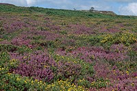 heather, ling Calluna vulgaris, flowering heath landscape, United Kingdom, England, Devon, Dartmoor Nationalpark