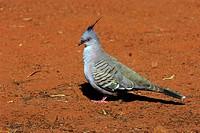 crested pigeon Ocyphaps lophotes, portrait, Australia, Northern Territory, Kakadu NP