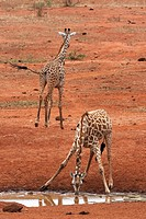 Masai giraffe Giraffa camelopardalis tippelskirchi, at the water hole, Kenya, Tsavo West National Park, Kilaguni Lodge