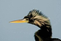 Close_up of an anhinga Anhinga anhinga