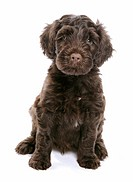 Portugese Water Dog _ puppy sitting _ cut out