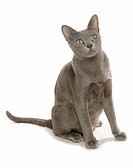 Korat cat _ sitting _ cut out