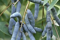 Dead Man´s Fingers, Blue bean shrub, Blue bean tree Decaisnea fargesii, mature fruits