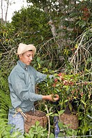 Man harvesting coffee beans on the plantation at Hacienda El Carmen, Jaji, Andes, Venezuela, South America