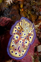 Sea Slug (Chromodoris kuniei), Indonesia, South East Asia