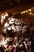 Many hens on a hen farm