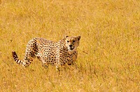 Male Cheetah (Acinonyx jubatus), Ngorongoro crater, Ngorongoro Conservation Area, Tanzania, Africa