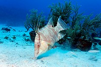 Hogfish (Lachnolaimus maximus) searching in the sandy seabed for food, Hopkins, Dangria, Belize, Central America, Caribbean