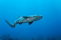 Nurse Sharks (Ginglymostoma cirratum) swimming amongst the coral reef in search of prey, barrier reef, San Pedro, Ambergris Cay Island, Belize, Centra...