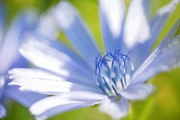 Common chicory Cichorium intybus, blossom