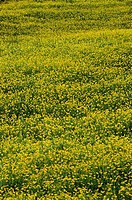 Panoramic view of a field of buttercups