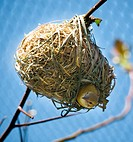 Bird in Grass Ball Nest Looking Down on Branch