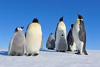 Tier,Tiere,Vogel,Voegel,Pinguin,Pinguine,Kaiserpinguin,Kaiserpinguine,Hochformat,Antarktis,antarktisch,Polargebiet,Polargebiete,Wildlife,Wildtier,Wild...