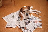 Querformat,Tier,Tiere,Saeugetier,Saeugetiere,Haustier,Haustiere,Haushund,Haushunde,Hund,Hunde,Vierbeiner,Gesellschaftshund,Gesellschaftshunde,Begleith...