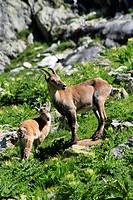 alpine ibex Capra ibex, mother with baby, Switzerland, URI